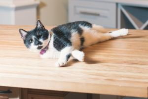 Our shop cat hanging out on a display butcher block island